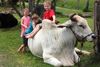 Kids adore Nobby - our huge friendly bullock